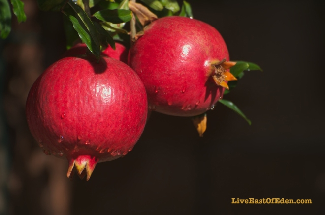 Pomegranates in the Garden of Eden
