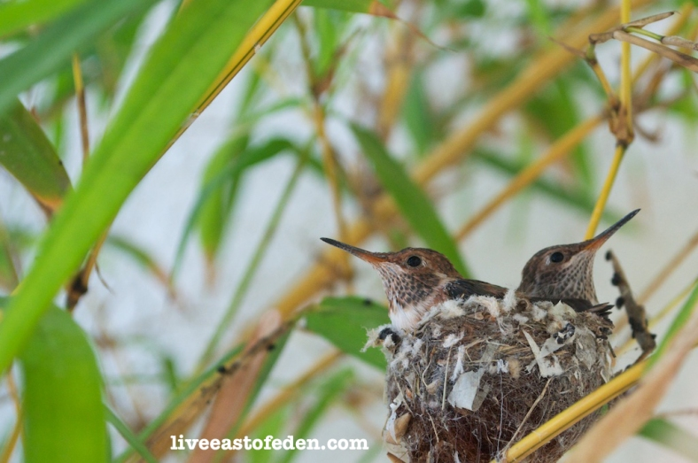 Baby hummingbirds in their nest