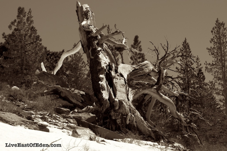 Tree stump in Mammoth Mountain.