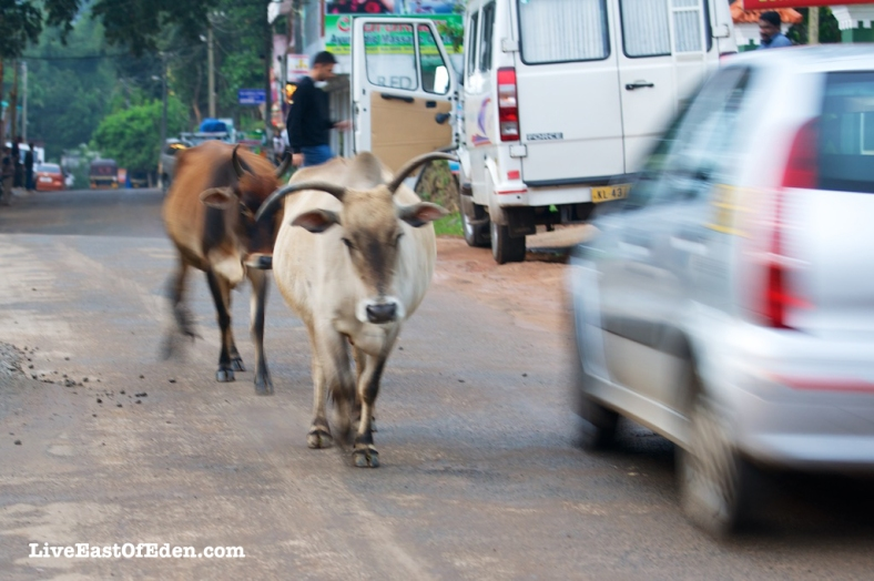 Photo101_Street_Cows_Kerala_India