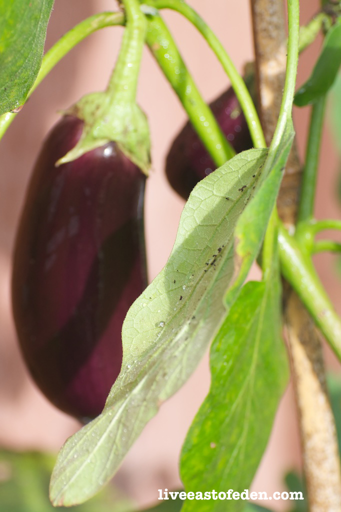 Eggplant in the Vegetable Garden