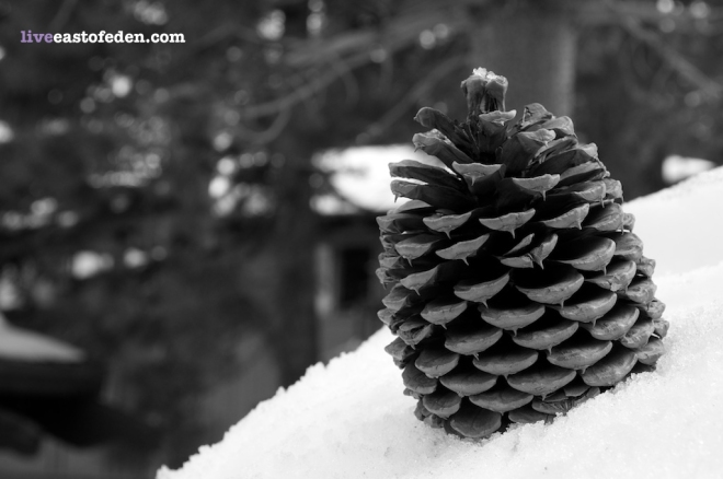 Pine Cone in Mammoth Mountain Winter Snow